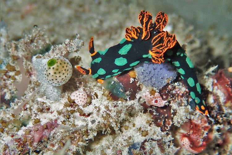 nudibranch raja ampat