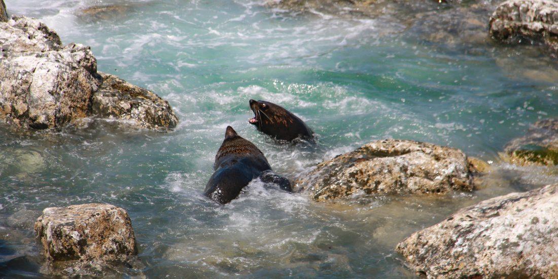 zeeleeuwen Nieuw Zeeland